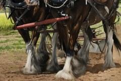 Pintura-cavalos-Clydesdales-arando-a-terra-por-Elton-Brunetti-6